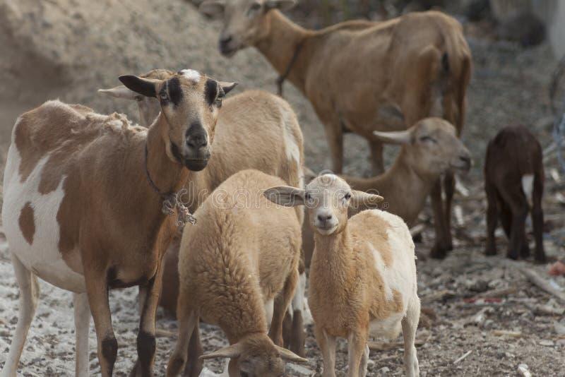 Sheeps i familj royaltyfria bilder