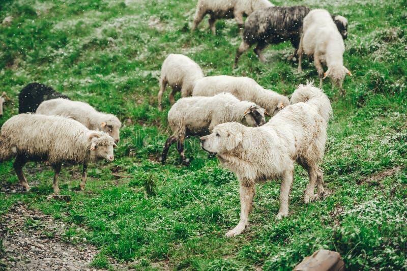 Sheeps i góra pies Cakle pasają w wiośnie na śnieg zakrywającej skłon górze zbli?enie fotografia stock