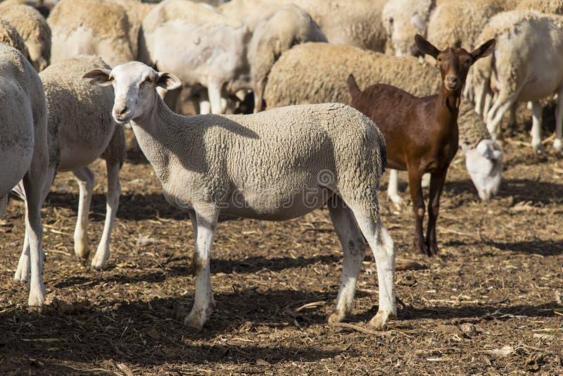 Sheeps i jeden kózka obrazy stock