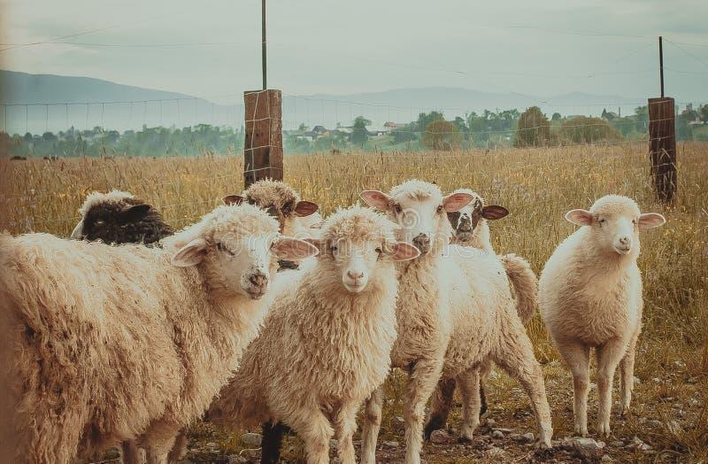 Sheeps i pennan Berg och varm sommar, ny luft Gult vete fotografering för bildbyråer
