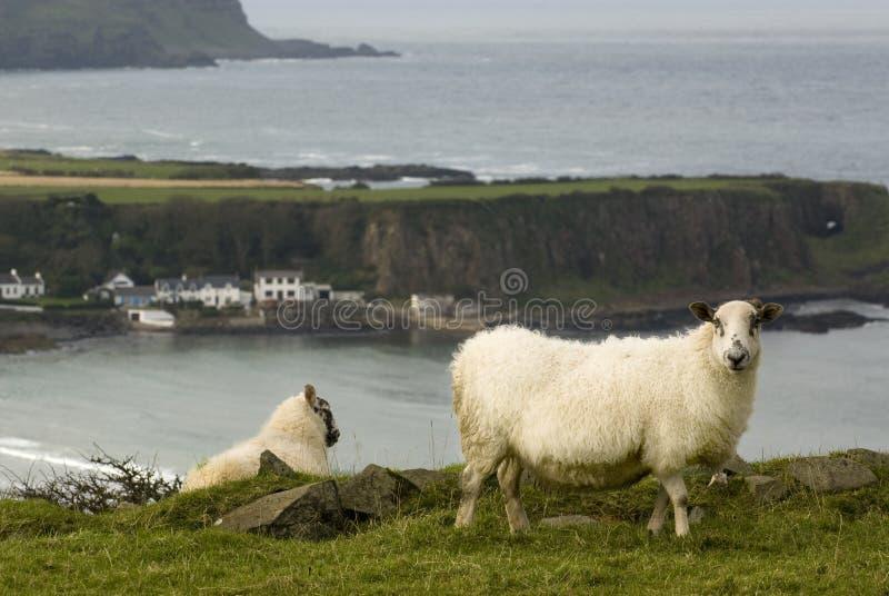 Sheeps irlandeses imagens de stock royalty free