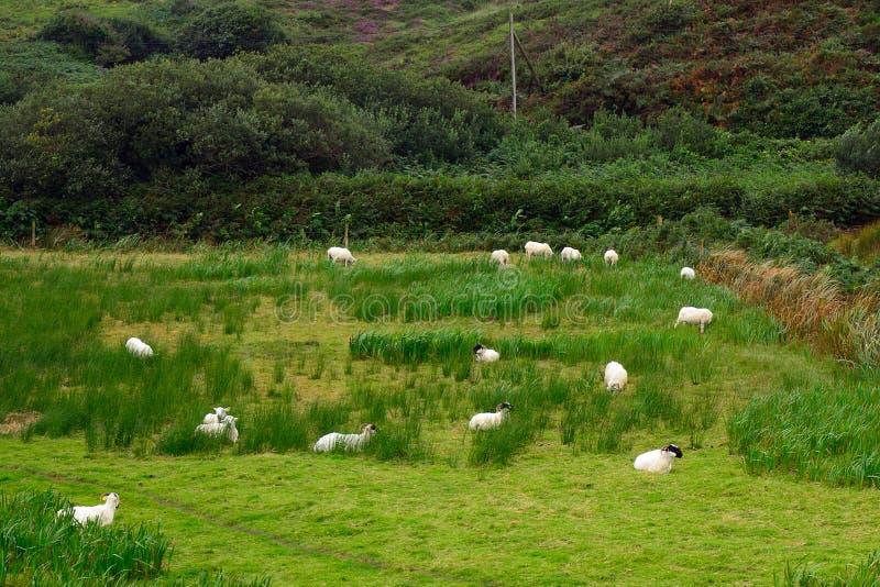 Download Sheeps Kerry, Irland arkivfoto. Bild av läder, meat, får - 76701854