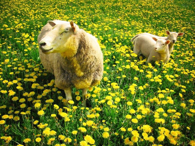 Sheeps and lambs stock photo