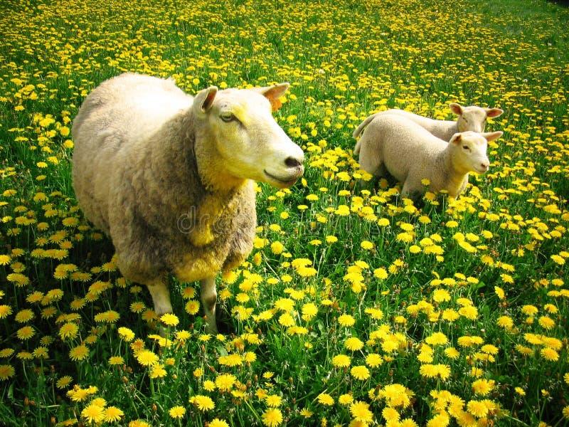 Sheeps and lambs stock image