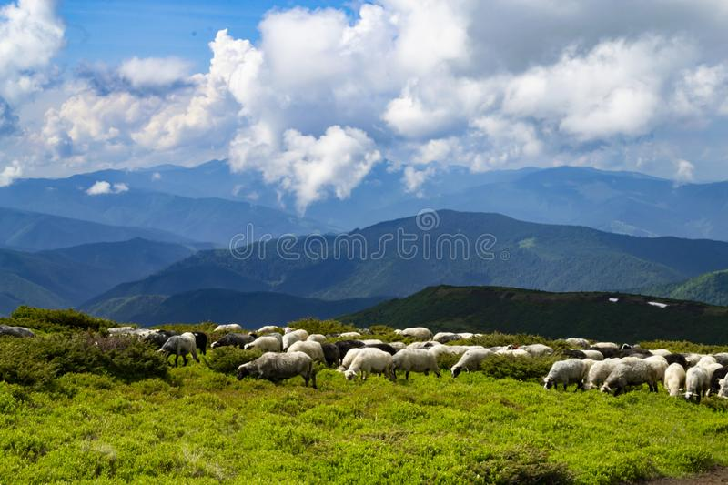 Sheeps, lambs on the mountain farm against green grass fields an. D beautiful cloudy sky. Warm summer photo with bright colors stock photo