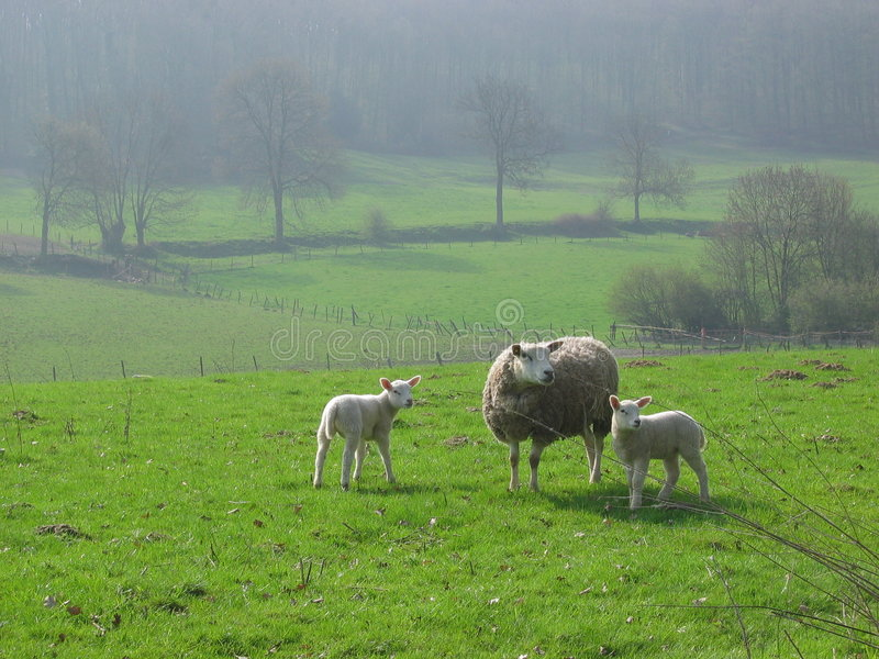 Download Sheeps In Limburg, Holland Stock Photo - Image: 6189120