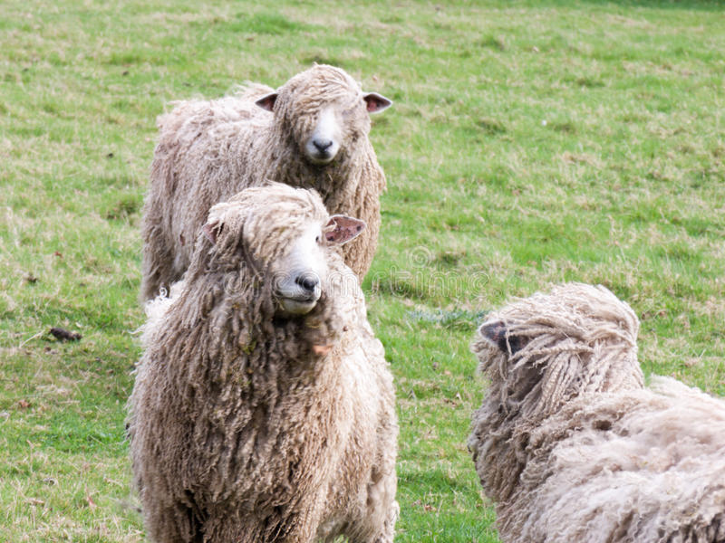 Sheeps Locking Eye in farm field. Three sheeps standing and locking eye in the middle of a green field stock photography