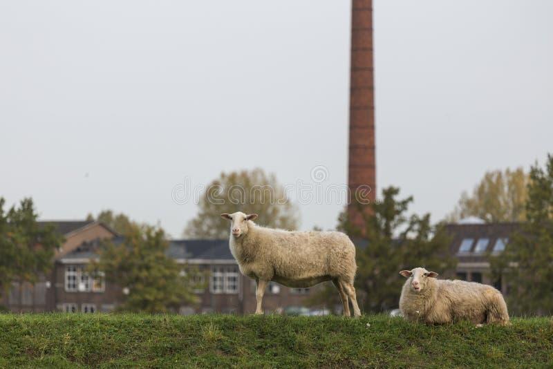 Sheeps on a meadow. Plain sheeps on a meadow stock image
