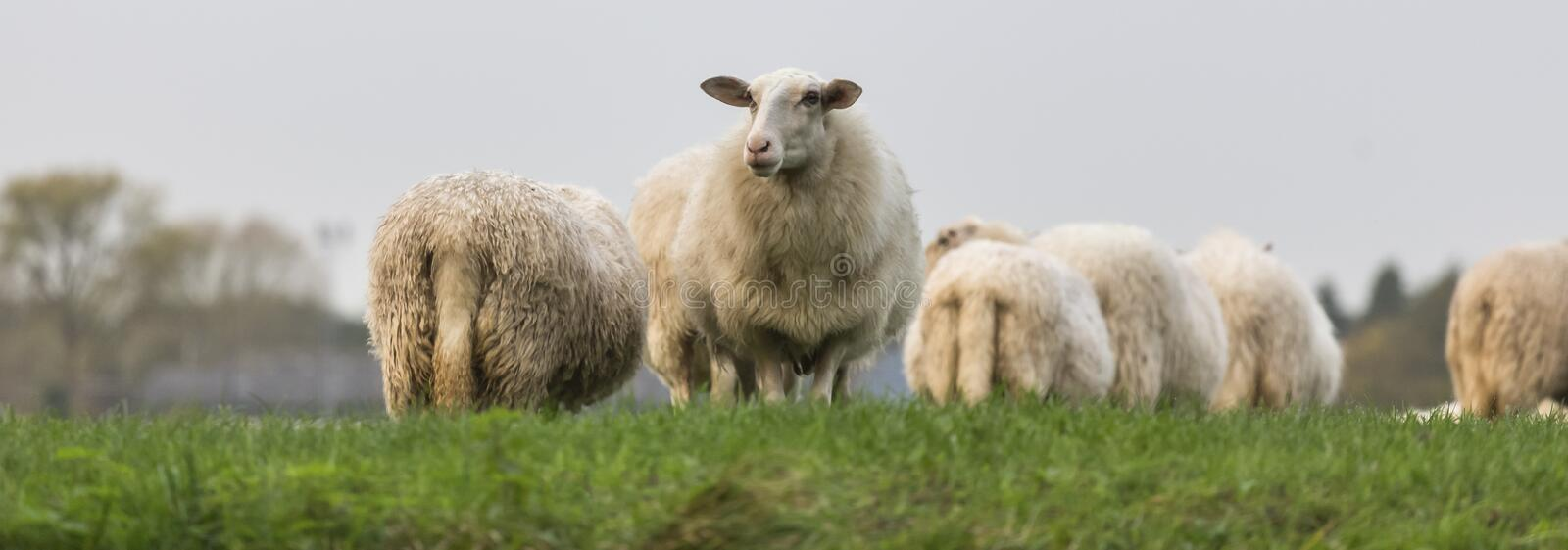 Sheeps on a meadow. Plain sheeps on a meadow royalty free stock images