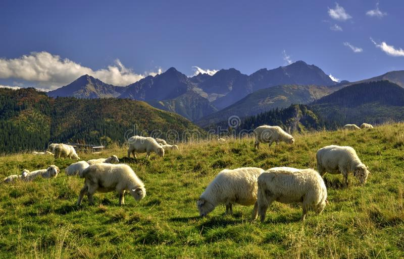 Download Sheeps on a meadow stock photo. Image of landascape, grazing - 50388582