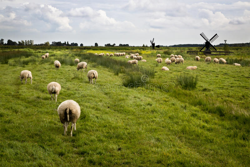 Sheeps met molens in Holland royalty-vrije stock foto's