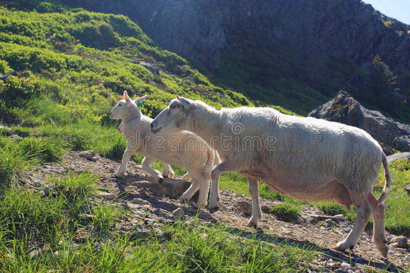 Sheeps on Mount Ulriken royalty free stock photography