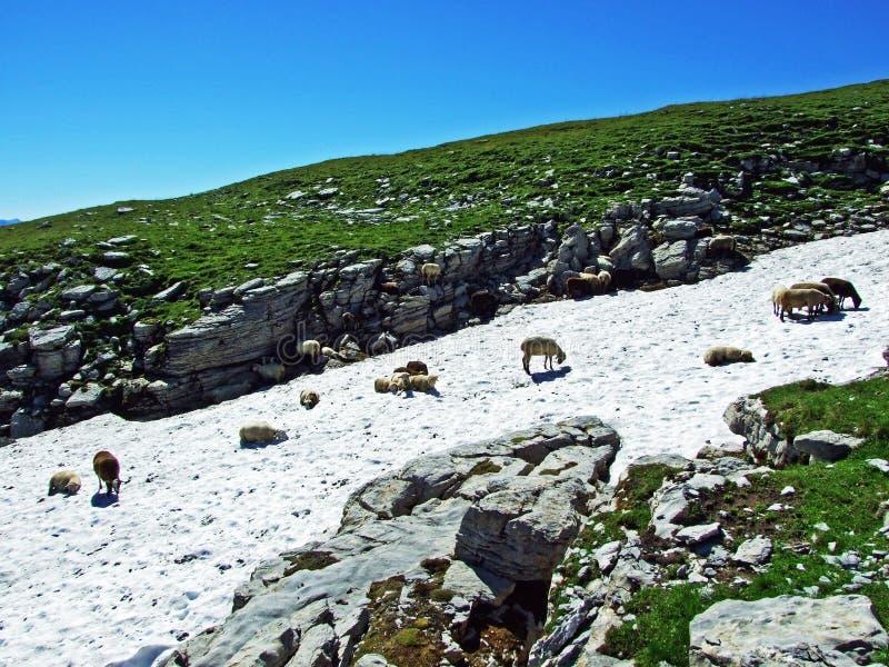 Sheeps na Alpejskich paśnikach Alviergruppe pasma górskiego aport orzeźwienie od lata słońca obrazy royalty free