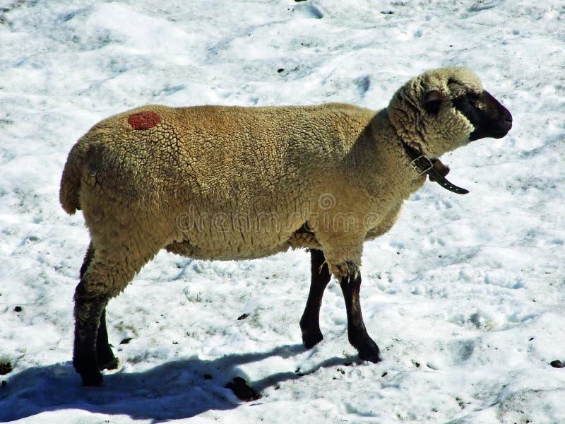 Sheeps na Alpejskich paśnikach Alviergruppe pasma górskiego aport orzeźwienie od lata słońca zdjęcia royalty free