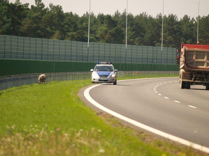 Sheeps na estrada em Poland imagens de stock royalty free