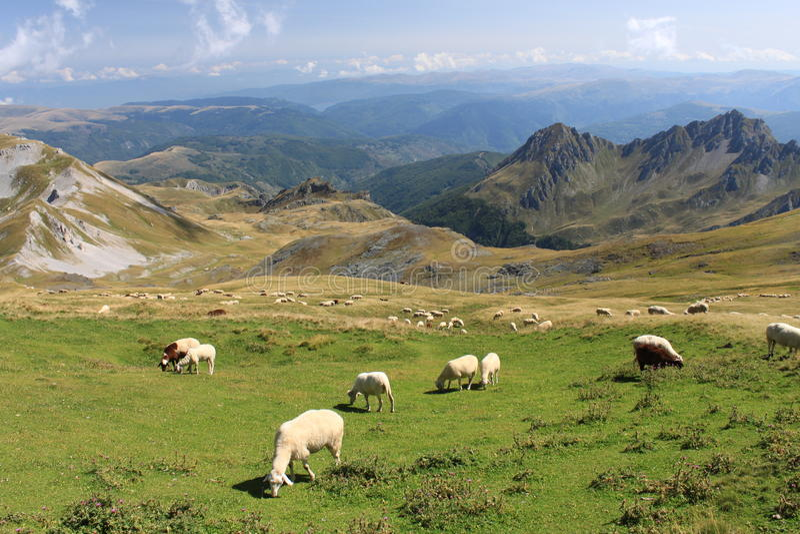 Sheeps na korab fotografia stock