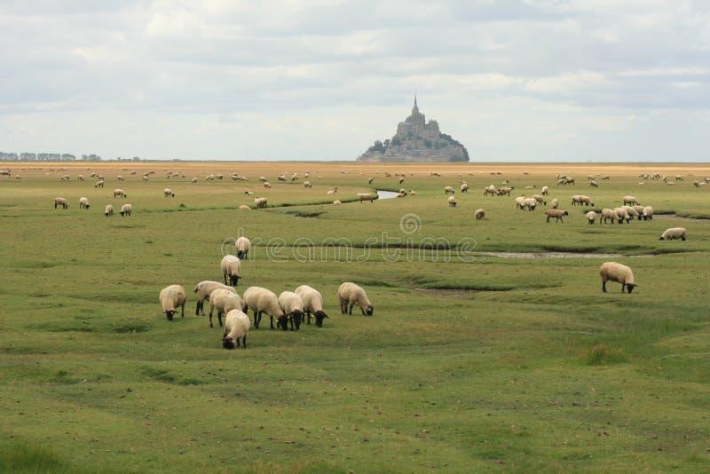 Sheeps na polu przed mont świętym Michel fotografia stock