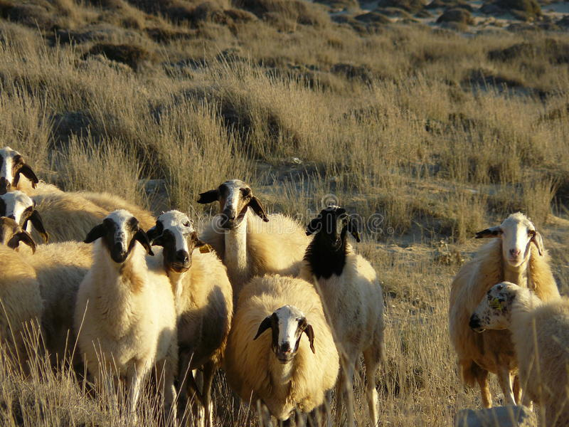 Sheeps - Northern Cyprus. Small sheep herd in the mountains of northern cyprus stock photo