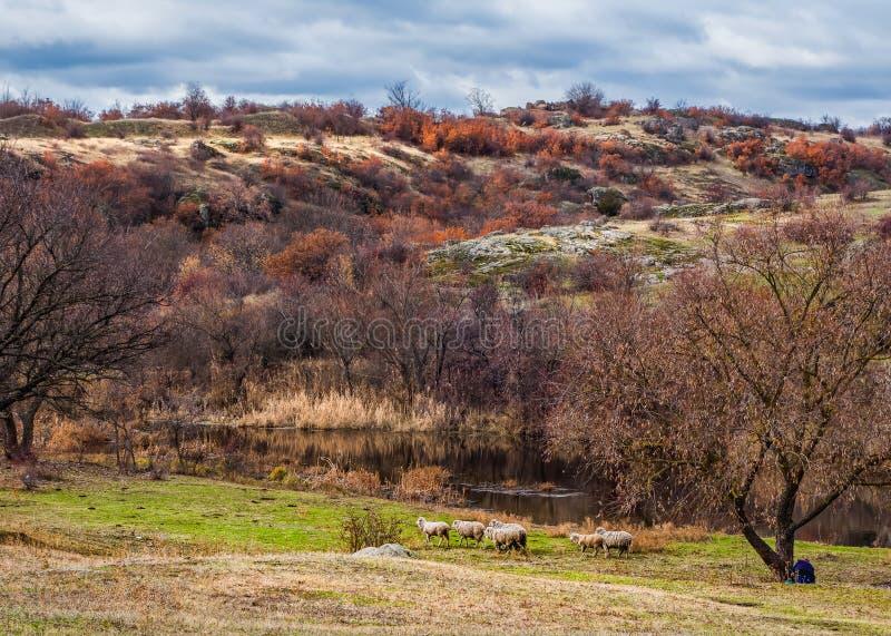 Sheeps onder de boom in de herfstlandschap stock afbeeldingen