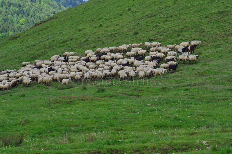 Sheeps op de weide stock foto