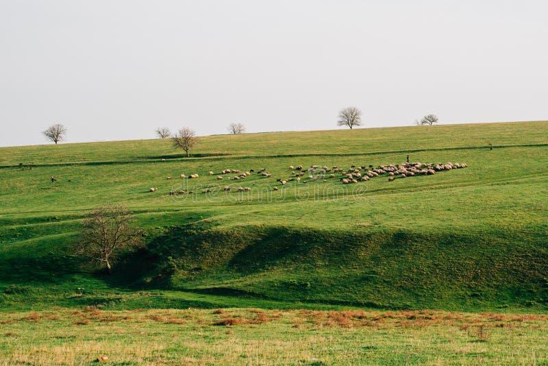 Sheeps op gebied stock foto's