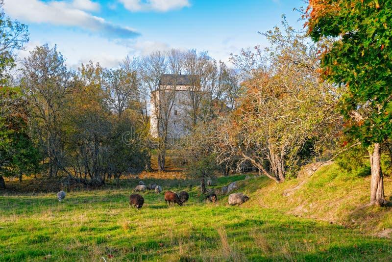 Sheeps op gebied op de herfstdag stock foto's