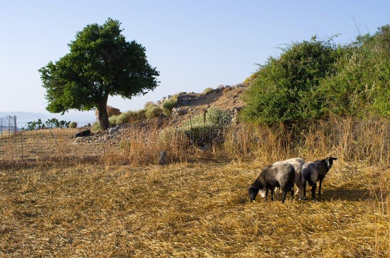 Sheeps op het eiland van Kreta, Griekenland royalty-vrije stock fotografie