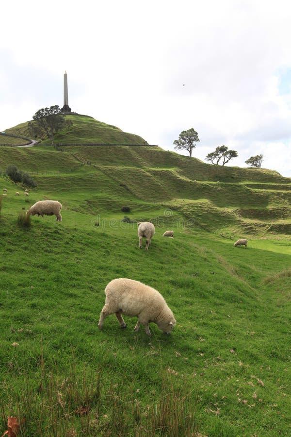 Sheeps op het gebied bij Één Boomheuvel stock foto