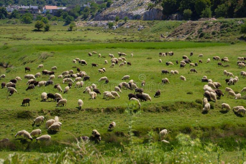 Sheeps op het gebied stock fotografie