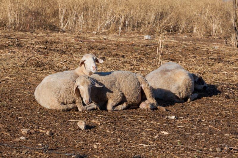 Sheeps op het landbouwbedrijf royalty-vrije stock fotografie