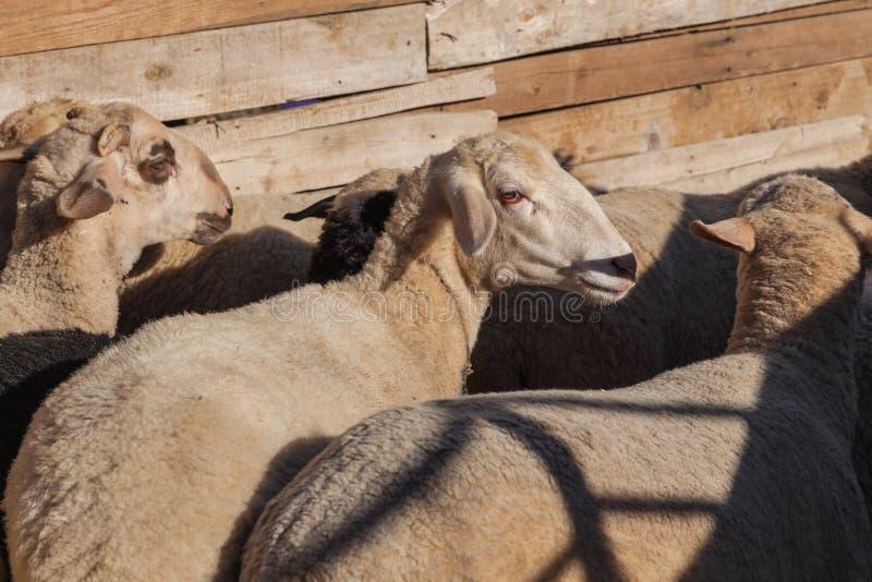 Sheeps op het landbouwbedrijf royalty-vrije stock foto's