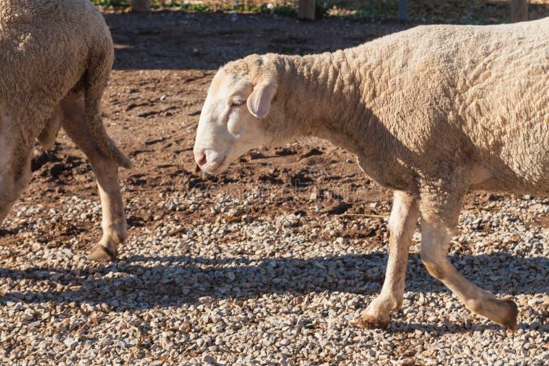 Sheeps op het landbouwbedrijf stock foto's