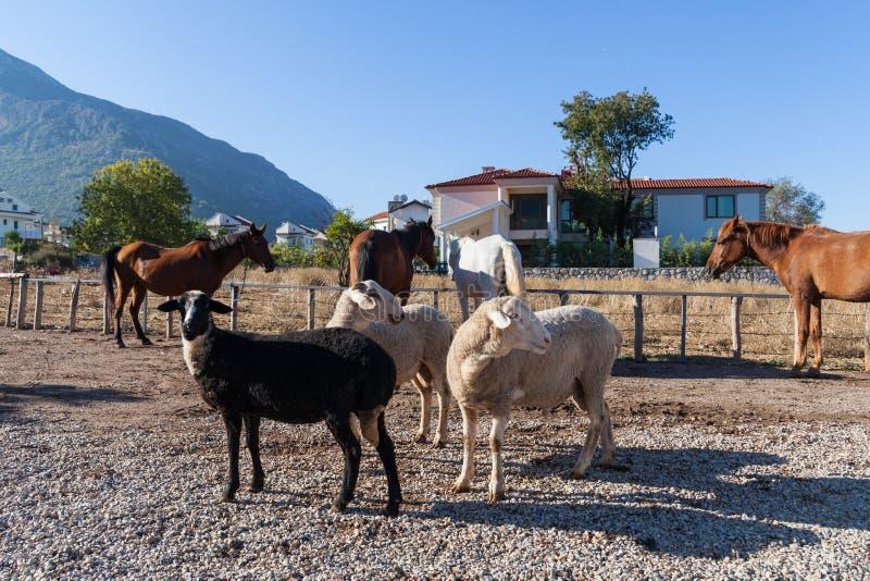 Sheeps op het landbouwbedrijf royalty-vrije stock afbeeldingen