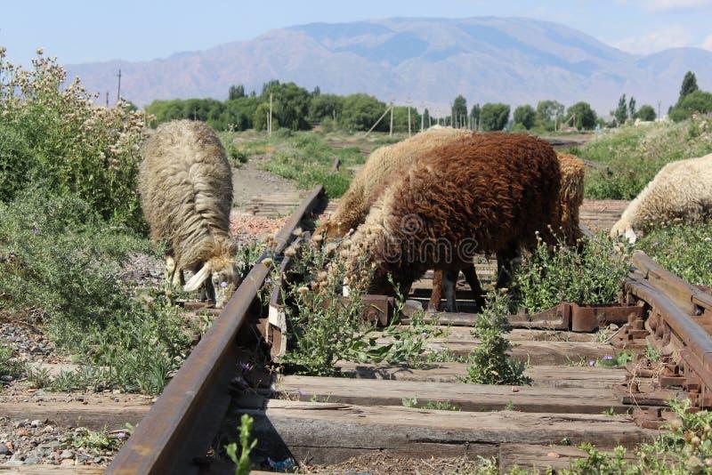 Sheeps op oude treinsporen royalty-vrije stock foto