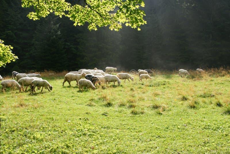 Sheeps op weiland stock fotografie