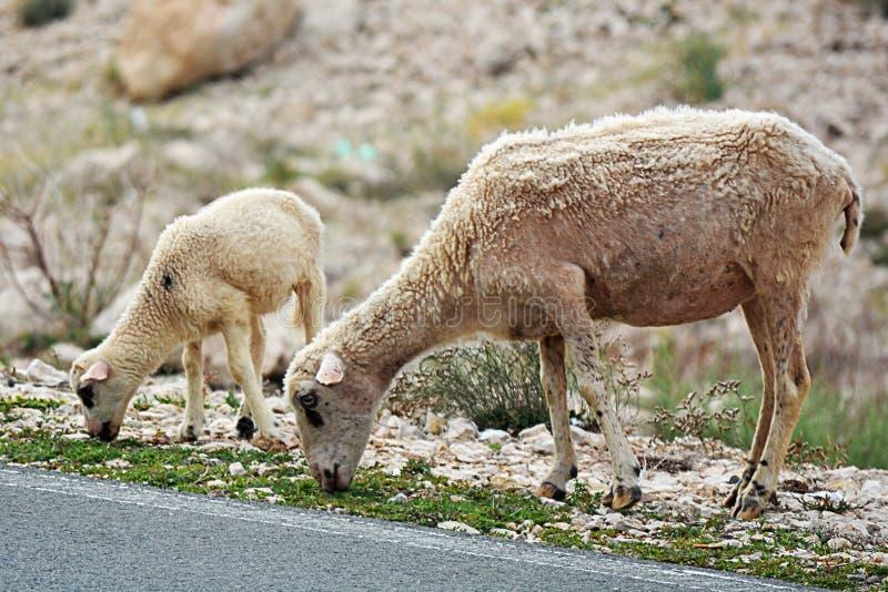 Sheeps patrzeje dla jedzenia zdjęcie royalty free