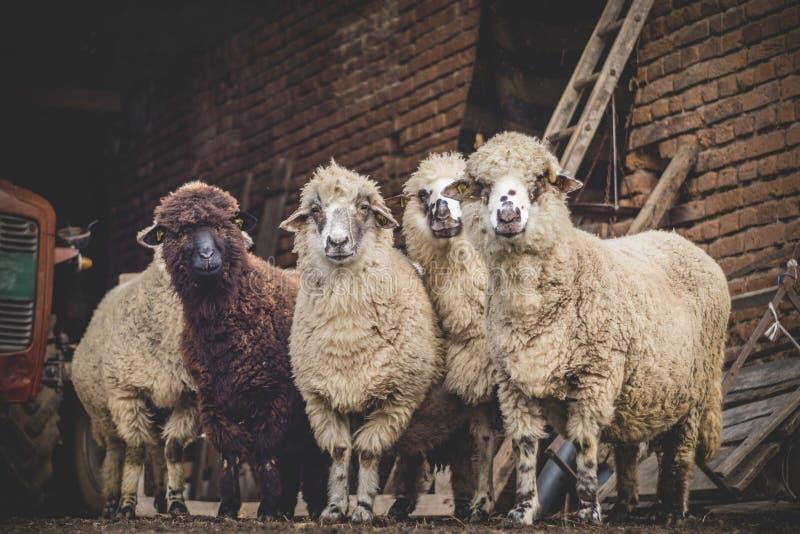 Sheeps patrzeje kamerę zdjęcia royalty free
