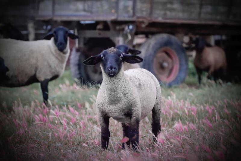 Sheeps patrzeje kamerę na łące zdjęcie stock