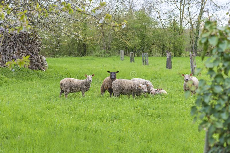 Sheeps patrzeje kamerę na paśniku zdjęcie stock