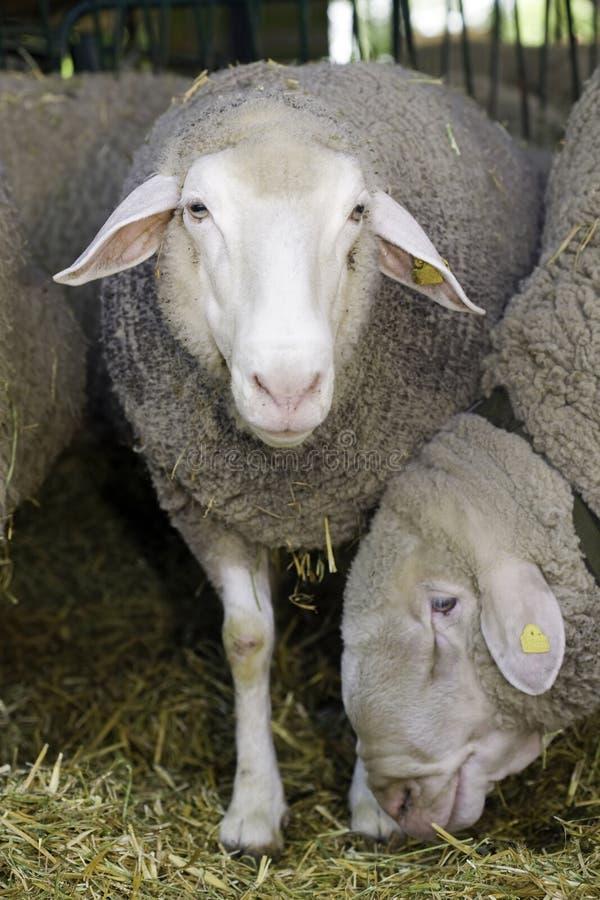 Sheeps in pen royalty free stock photos