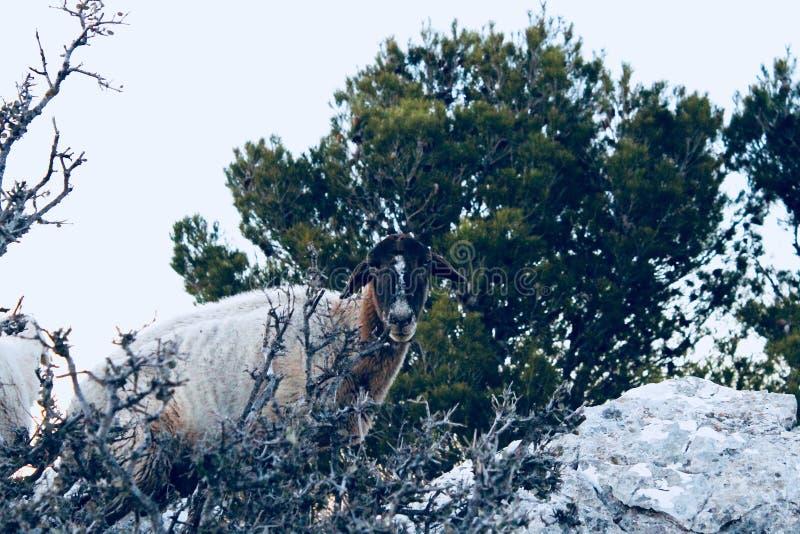 Sheeps podąża ja w górach zdjęcie royalty free