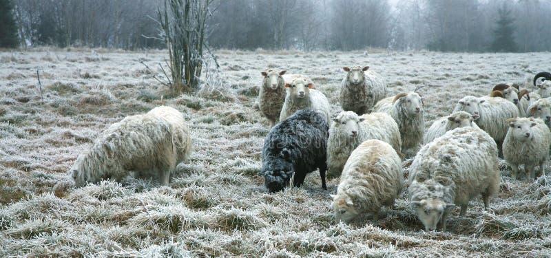 Sheeps por el principio del invierno foto de archivo libre de regalías