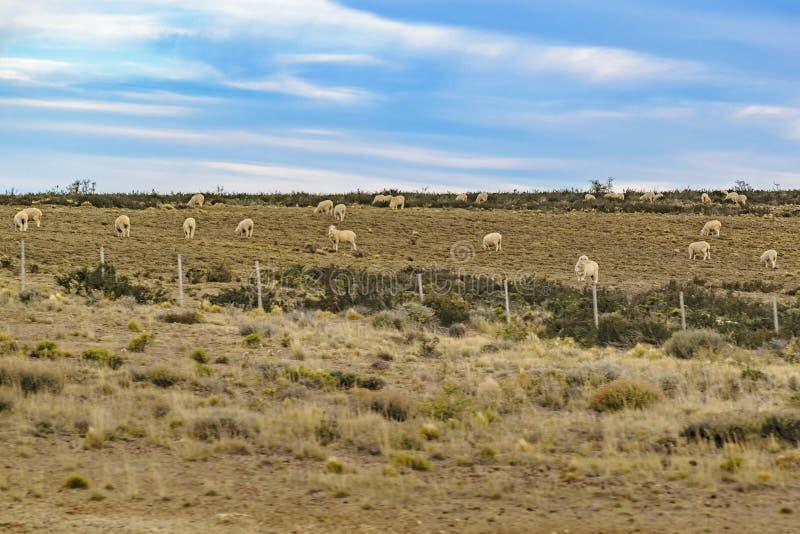 Sheeps przy Wiejską sceną, Patagonia, Argentyna obrazy stock