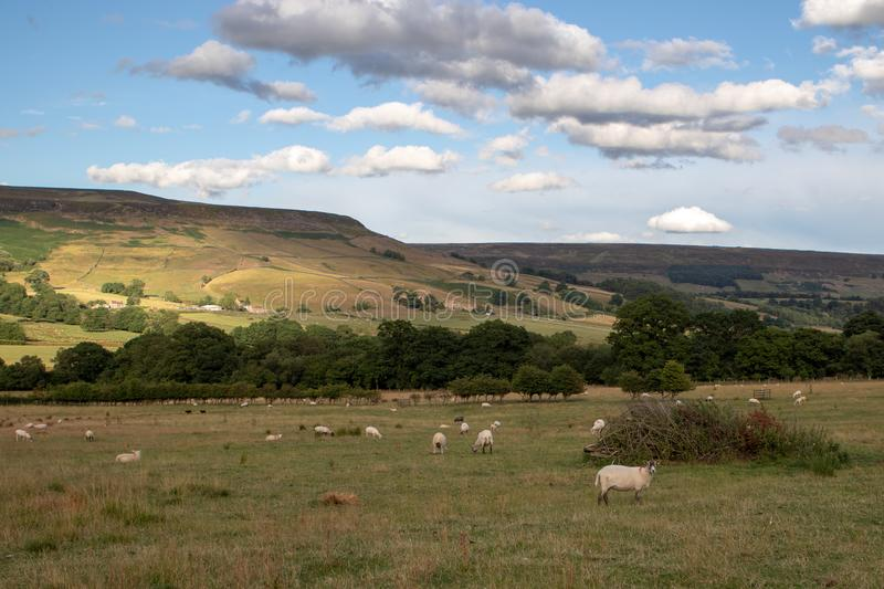 Sheeps resting and grazing in English countryside farmland royalty free stock photography