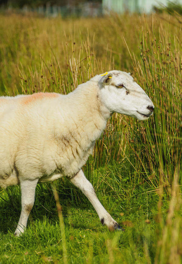 Sheeps in Scottish Highlands. UK, Scotland, Fort William, Sheep on the field near the city stock photo