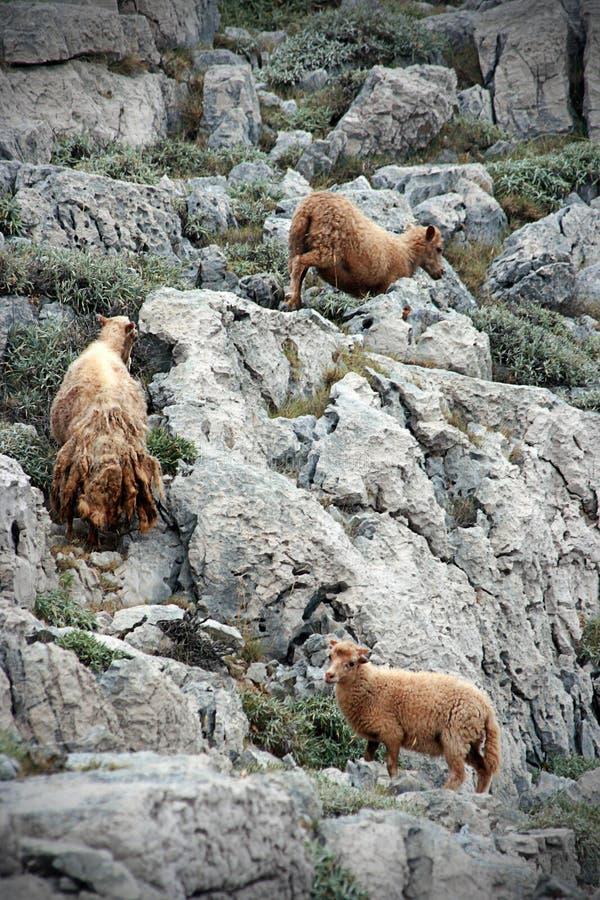 Sheeps selvagens de Yung foto de stock