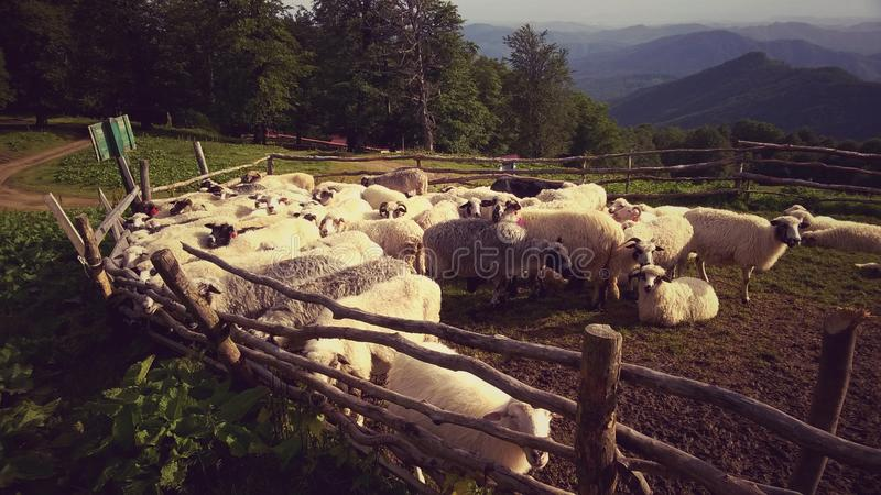 Sheeps in sheepfold stock foto's
