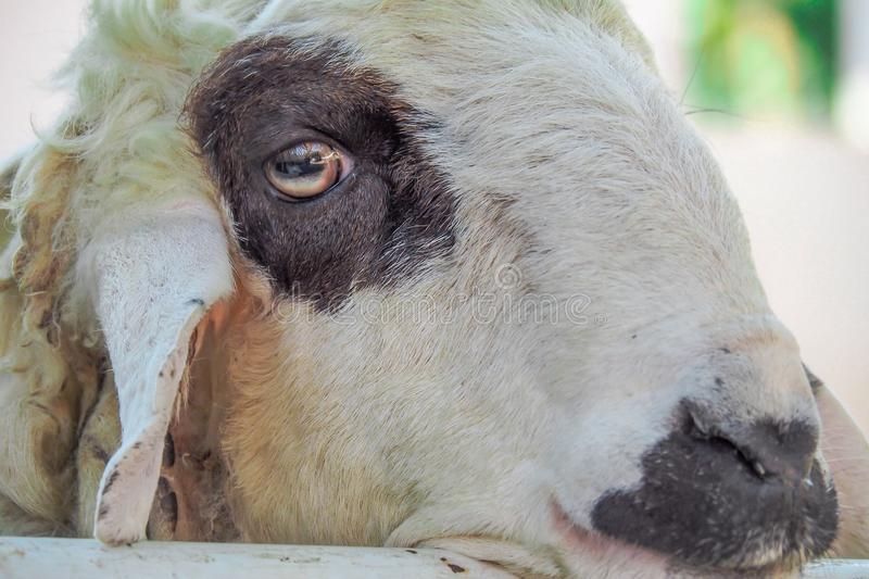 Download Sheeps stock image. Image of cattle, sheep, herbivores - 106946655