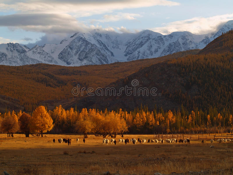 Download Sheeps and snowy mountains stock photo. Image of scenics - 22529016