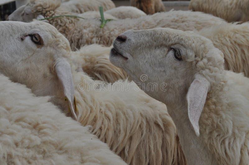 Sheeps som äter greass arkivbilder